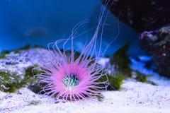 Buisanemoon op de bodem van een aquarium royalty-vrije stock foto