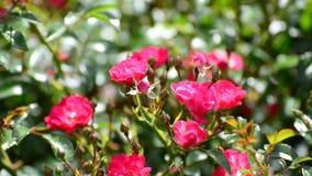 Buisson abondant fleurissant des roses roses banque de vidéos