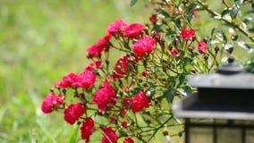 Buisson abondant fleurissant des roses roses clips vidéos