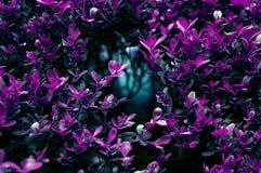 Buisson Amethyst Photographie stock libre de droits