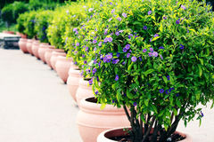 Buisson bleu de pomme de terre (rantonnetii de solanum) Photos libres de droits