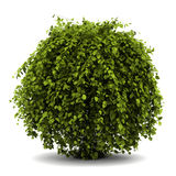 Buisson commun de hornbeam d'isolement sur le blanc Photographie stock