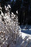 buisson couvert de neige dans la forêt de sapin d'hiver après des chutes de neige au soleil Photographie stock libre de droits