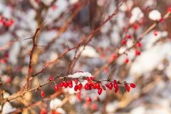buisson couvert de neige de berbéris Photo libre de droits
