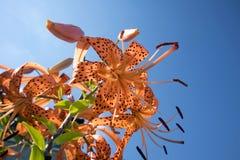 Buisson croissant romantique des lillies de tigre avec des stamens images libres de droits