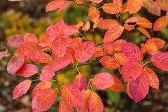 Buisson d'Amelanchier avec des feuilles d'automne image libre de droits