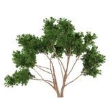 Buisson d'arbre d'isolement. Eucalyptus Images libres de droits