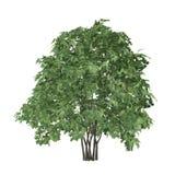 Buisson d'arbre d'isolement. Pinnata de Staphyella Photo libre de droits