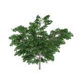 Buisson d'arbre d'isolement. Platanus Photographie stock libre de droits