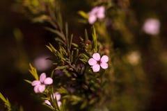 Buisson d'arbre de thé de Leptospermum Image stock