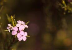 Buisson d'arbre de thé de Leptospermum Photos stock
