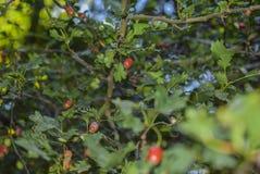Buisson d'arbuste photos libres de droits