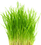 Buisson d'herbe verte Photos libres de droits