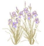Buisson d'iris sur le backgrond blanc Photographie stock libre de droits