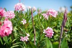 Buisson d'oléandre avec les fleurs roses contre le ciel bleu Photos libres de droits