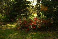 Buisson de coing dans le jardin photos stock