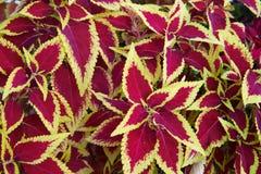 Buisson de coleus Image libre de droits