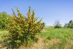 Buisson de flanelle en fleur dans la région naturelle d'Ulistac, Santa Clara, région de San Francisco Bay du sud, la Californie photos libres de droits