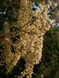 Buisson de floraison d'aîné noir Photographie stock libre de droits