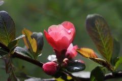 Buisson de floraison de fleurs roses lumineuses Photographie stock
