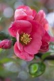 Buisson de floraison de fleurs roses lumineuses avec le beau bokeh Images stock