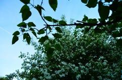 Buisson de floraison de jasmin contre le ciel lumineux image stock