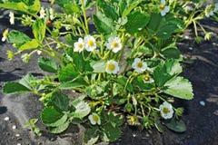 Buisson de fraise avec beaucoup de fleurs Image stock