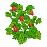 Buisson de fraise mûr de jardin d'isolement sur le fond blanc Image libre de droits