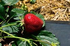 Buisson de fraise s'élevant dans le jardin Image stock