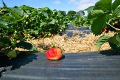 Buisson de fraise s'élevant dans le jardin Photographie stock libre de droits