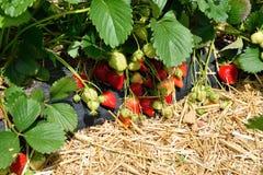 Buisson de fraise s'élevant dans le jardin Images libres de droits