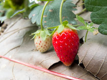 Buisson de fraise s'élevant dans le jardin Image libre de droits