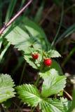 Buisson de fraisier commun avec les baies mûres et les feuilles vertes en gros plan Photos libres de droits