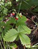 Buisson de fraisier commun avec les baies mûres et les feuilles vertes en gros plan Images libres de droits