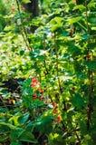 Buisson de groseille Beau fond d'été images libres de droits