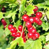 Buisson de groseille rouge avec beaucoup groseille accrochante parmi les feuilles Images stock