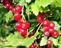 Buisson de groseille rouge avec beaucoup groseille accrochante parmi les feuilles Photographie stock libre de droits