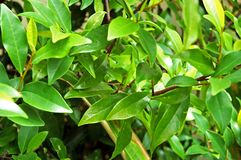 Buisson de magnolia Images libres de droits