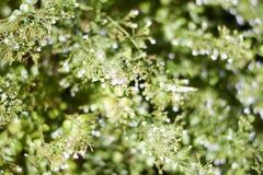 Buisson de marjolaine douce Photographie stock libre de droits