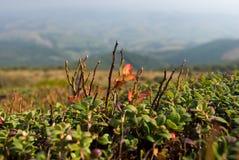 Buisson de myrtille Images stock
