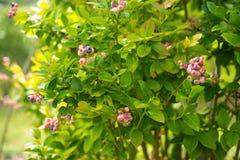 Buisson de myrtille dans le jour ensoleillé Photographie stock