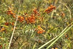 Buisson de nerprun complètement avec des fruits Photos stock