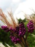 Buisson de queue de difficulté et raisins sauvages image libre de droits