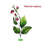 Buisson de raspbery d'aquarelle de vecteur avec le vert naturel Image libre de droits