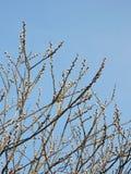 Buisson de saule de chat au printemps, la Lithuanie photos libres de droits
