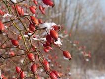 Buisson et baies rouges de baie de rose sauvage en hiver Cynorrhodons rouges en nature Pla de canina de Rosa de hanche de Rose Image stock
