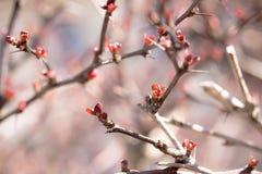 Buisson européen de berbéris prêt à s'épanouir Images stock