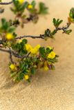 Buisson fleuri jaune s'élevant dans le désert - Australie occidentale photos libres de droits