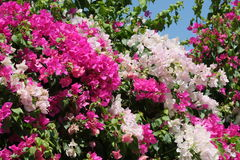 Buisson fleurissant photo libre de droits