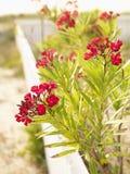 Buisson fleurissant rouge d'oléandre. Image libre de droits